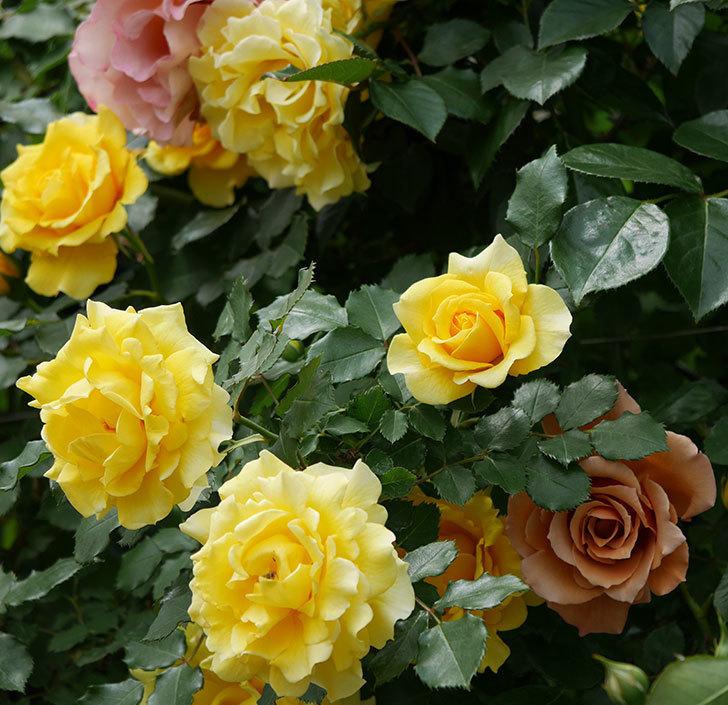 つるゴールドバニー(ツルバラ)の花が満開になった。2019年-13.jpg