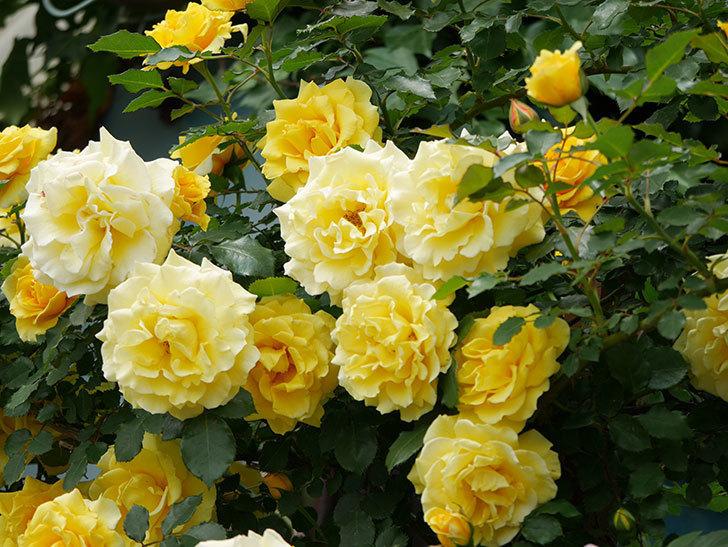 つるゴールドバニー(ツルバラ)の花が満開になった。2019年-14.jpg