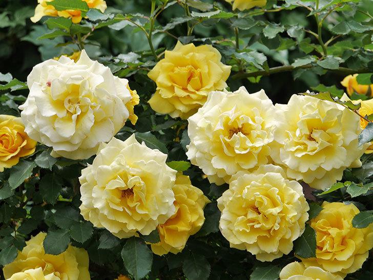 つるゴールドバニー(ツルバラ)の花が満開になった。2019年-16.jpg