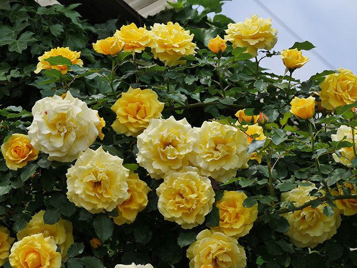 つるゴールドバニー(ツルバラ)の花が満開になった。2019年-17.jpg