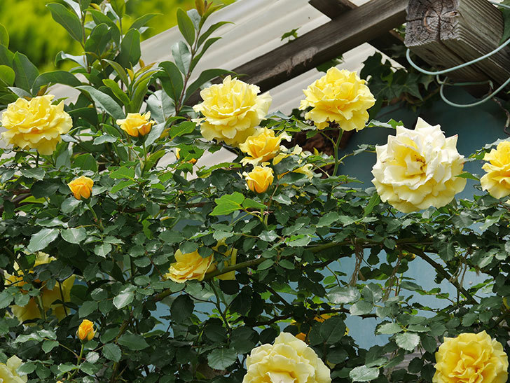 つるゴールドバニー(ツルバラ)の花が満開になった。2019年-18.jpg
