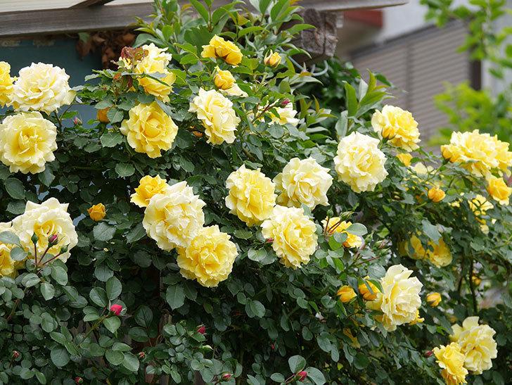 つるゴールドバニー(ツルバラ)の花が満開になった。2019年-2.jpg