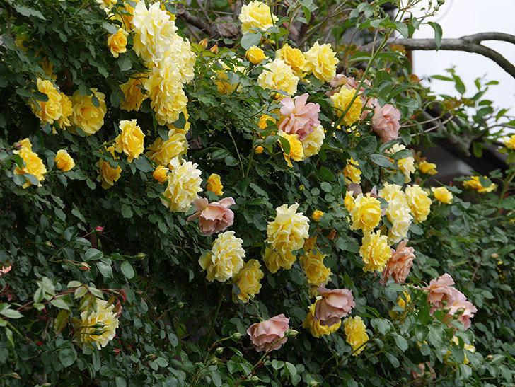 つるゴールドバニー(ツルバラ)の花が満開になった。2019年-3.jpg