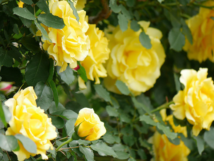 つるゴールドバニー(ツルバラ)の花が満開になった。2019年-4.jpg