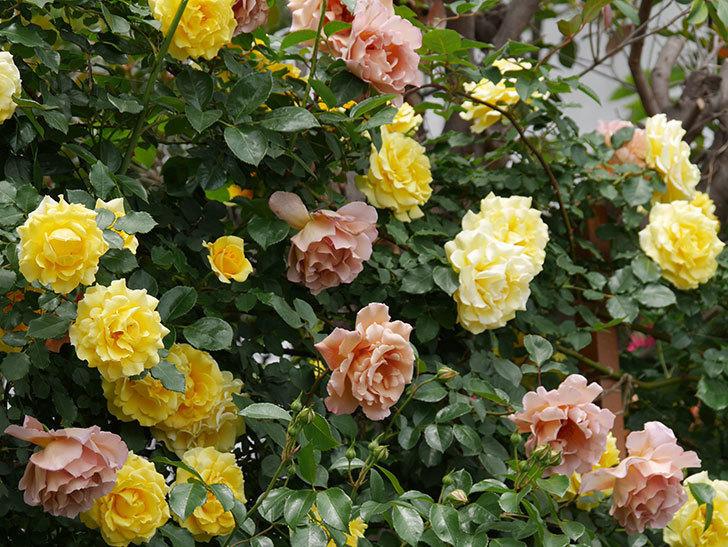 つるゴールドバニー(ツルバラ)の花が満開になった。2019年-5.jpg