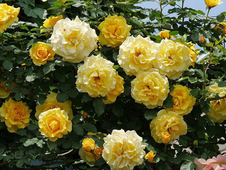 つるゴールドバニー(ツルバラ)の花が満開になった。2019年-6.jpg
