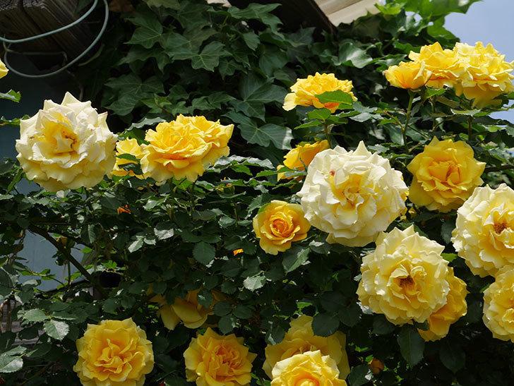 つるゴールドバニー(ツルバラ)の花が満開になった。2019年-7.jpg