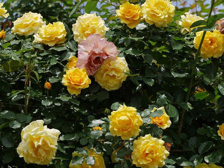 つるゴールドバニー(ツルバラ)の花が満開になった。2019年-8.jpg