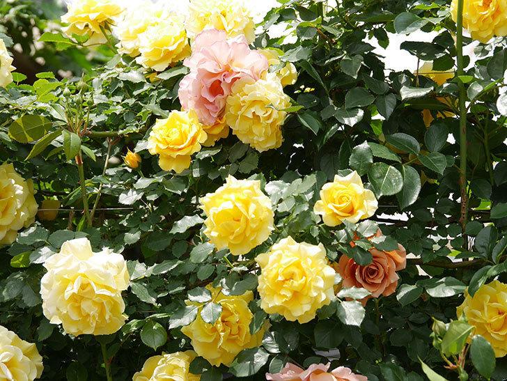 つるゴールドバニー(ツルバラ)の花が満開になった。2019年-9.jpg