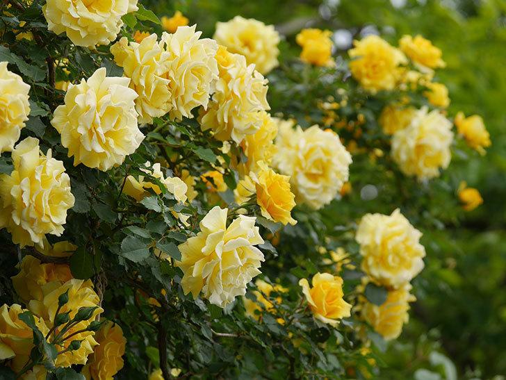 つるゴールドバニー(ツルバラ)の花が満開になった。2020年-1.jpg