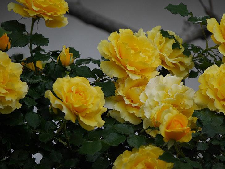 つるゴールドバニー(ツルバラ)の花が満開になった。2020年-10.jpg