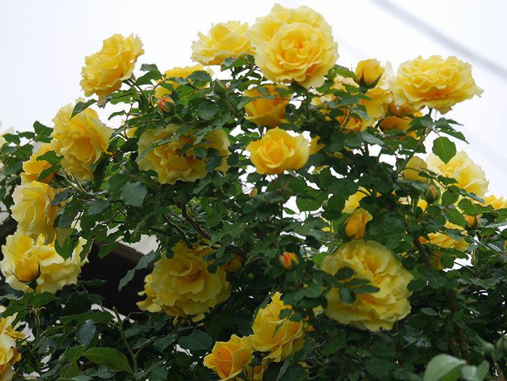 つるゴールドバニー(ツルバラ)の花が満開になった。2020年-11.jpg