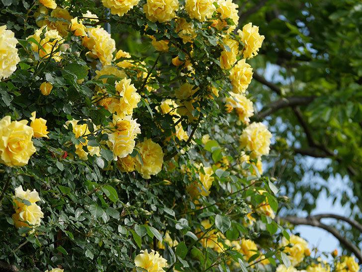 つるゴールドバニー(ツルバラ)の花が満開になった。2020年-12.jpg