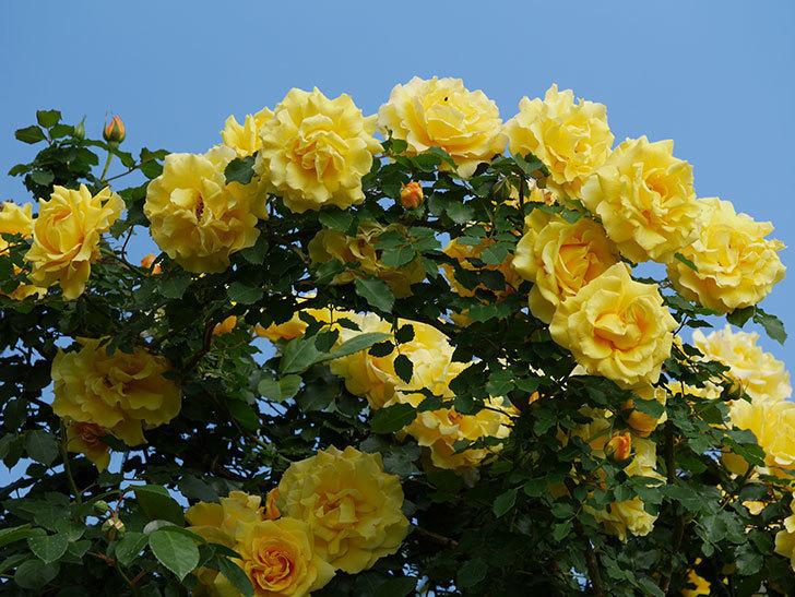 つるゴールドバニー(ツルバラ)の花が満開になった。2020年-13.jpg