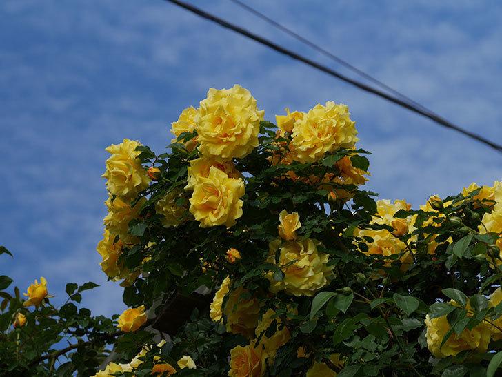 つるゴールドバニー(ツルバラ)の花が満開になった。2020年-14.jpg