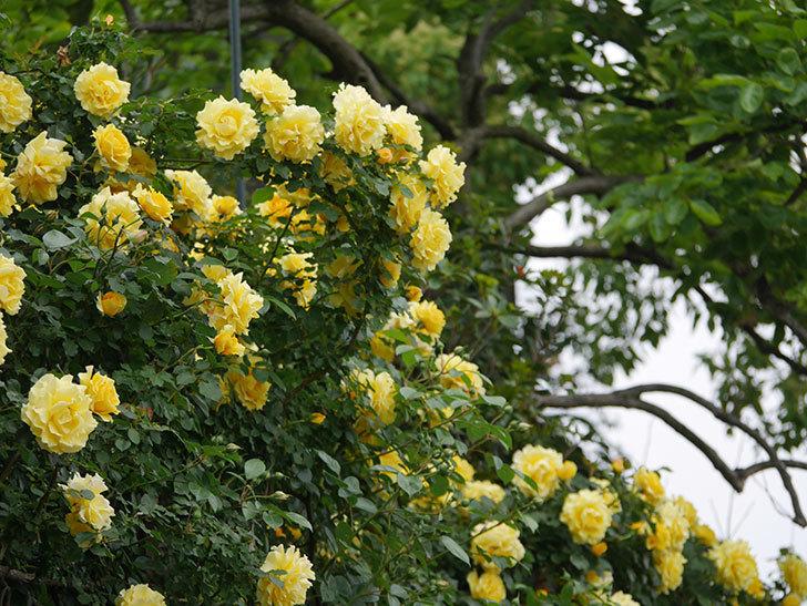 つるゴールドバニー(ツルバラ)の花が満開になった。2020年-15.jpg