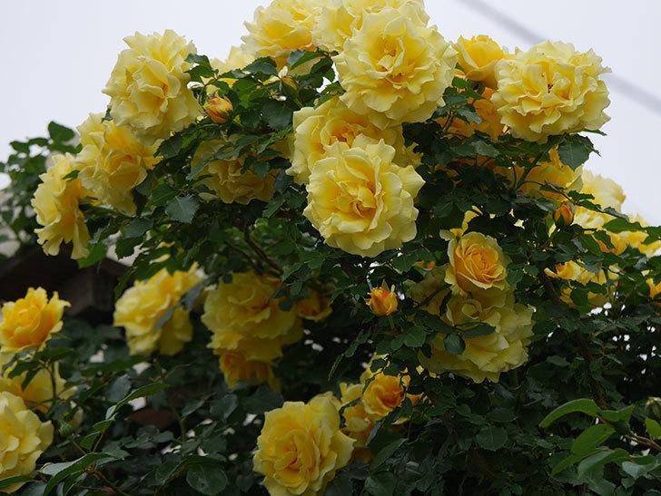 つるゴールドバニー(ツルバラ)の花が満開になった。2020年-16.jpg