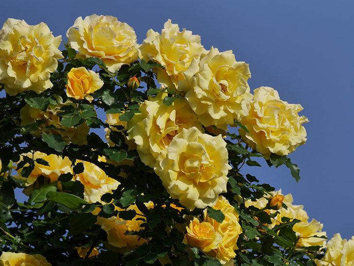 つるゴールドバニー(ツルバラ)の花が満開になった。2020年-17.jpg