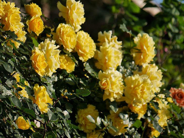 つるゴールドバニー(ツルバラ)の花が満開になった。2020年-18.jpg