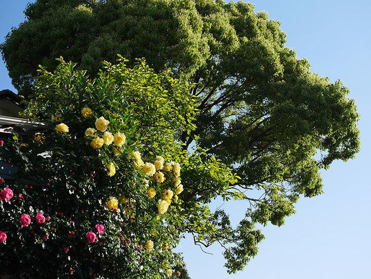 つるゴールドバニー(ツルバラ)の花が満開になった。2020年-19.jpg