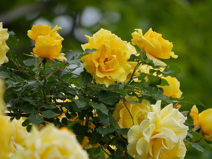 つるゴールドバニー(ツルバラ)の花が満開になった。2020年-2.jpg