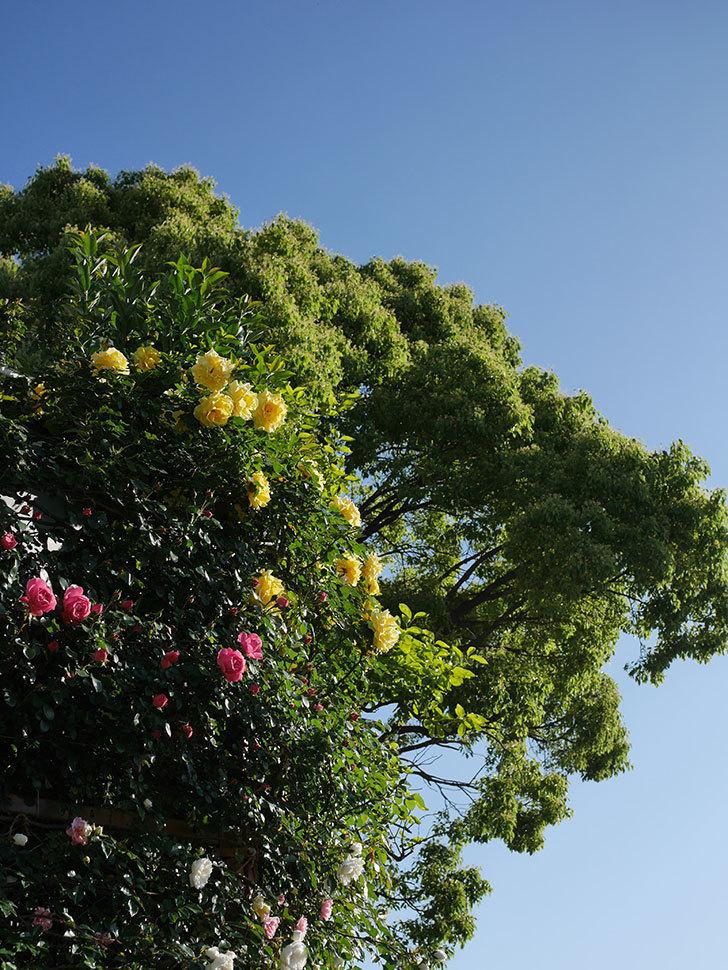 つるゴールドバニー(ツルバラ)の花が満開になった。2020年-20.jpg