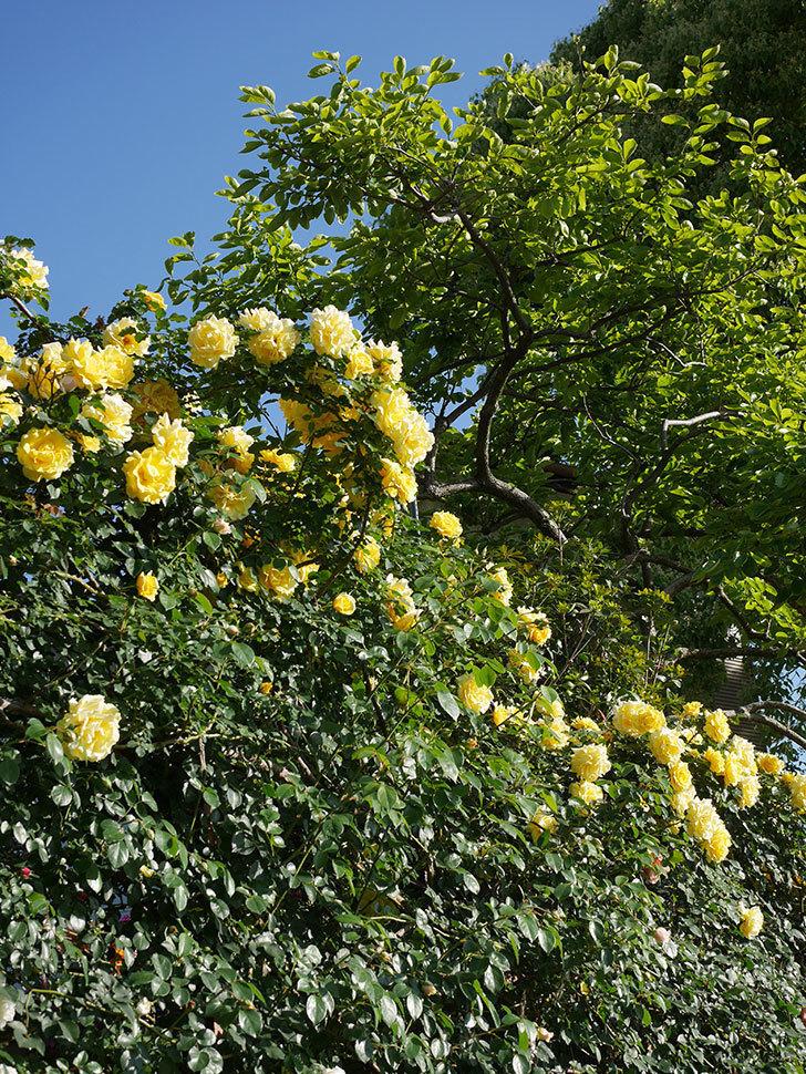 つるゴールドバニー(ツルバラ)の花が満開になった。2020年-21.jpg