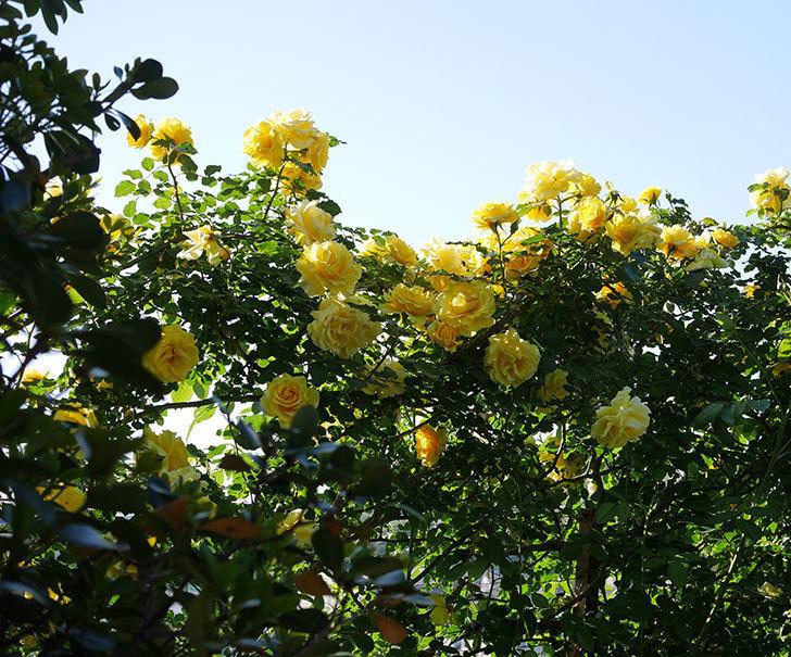 つるゴールドバニー(ツルバラ)の花が満開になった。2020年-22.jpg
