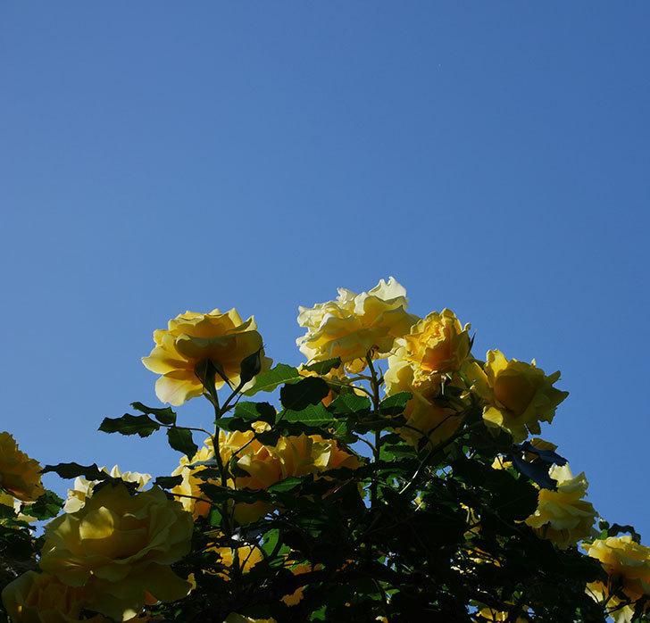 つるゴールドバニー(ツルバラ)の花が満開になった。2020年-23.jpg