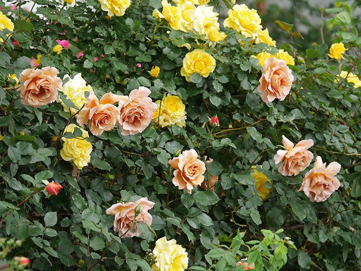つるゴールドバニー(ツルバラ)の花が満開になった。2020年-4.jpg