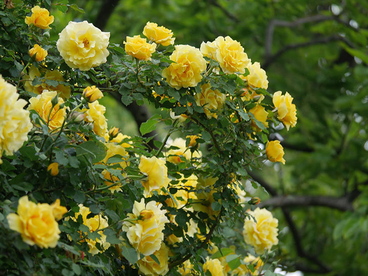つるゴールドバニー(ツルバラ)の花が満開になった。2020年-5.jpg