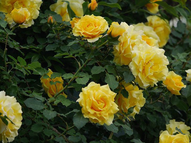 つるゴールドバニー(ツルバラ)の花が満開になった。2020年-6.jpg