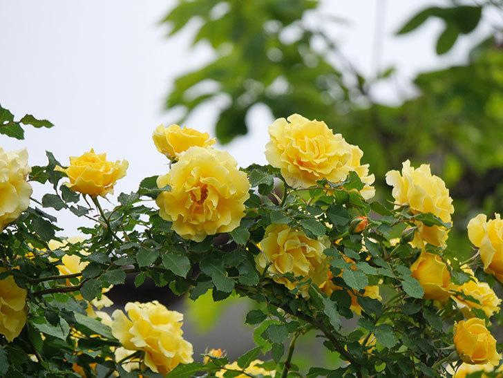 つるゴールドバニー(ツルバラ)の花が満開になった。2020年-7.jpg