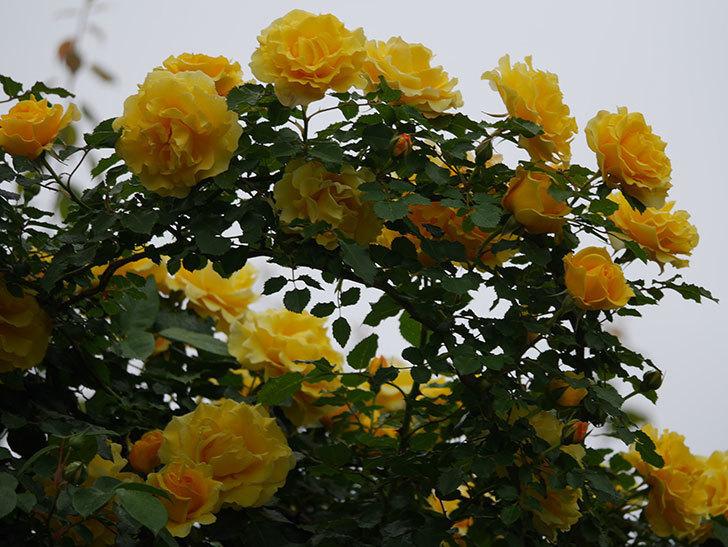 つるゴールドバニー(ツルバラ)の花が満開になった。2020年-8.jpg