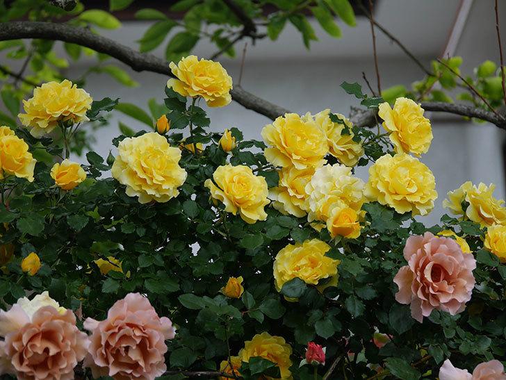 つるゴールドバニー(ツルバラ)の花が満開になった。2020年-9.jpg