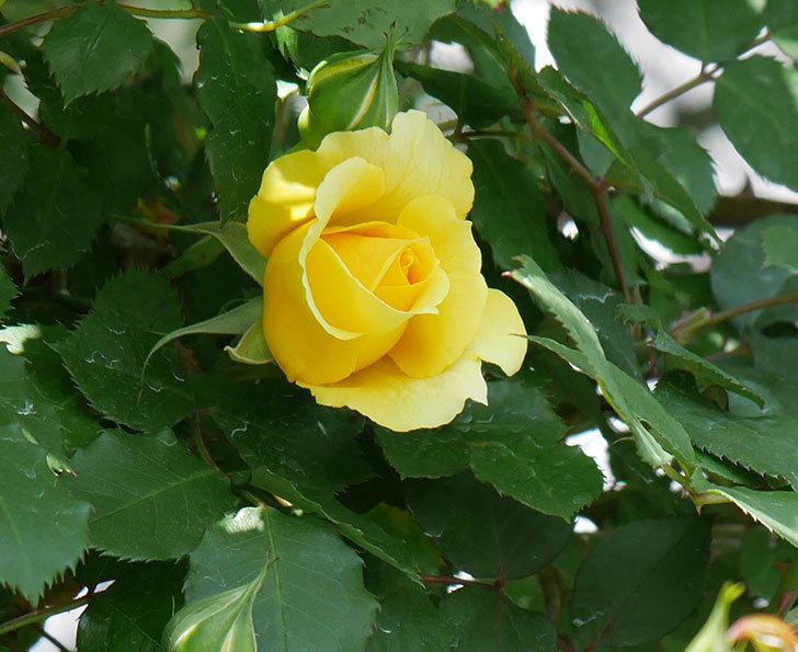 つるゴールドバニー(ツルバラ)の花が続々と膨らんで来た。2019年-1.jpg