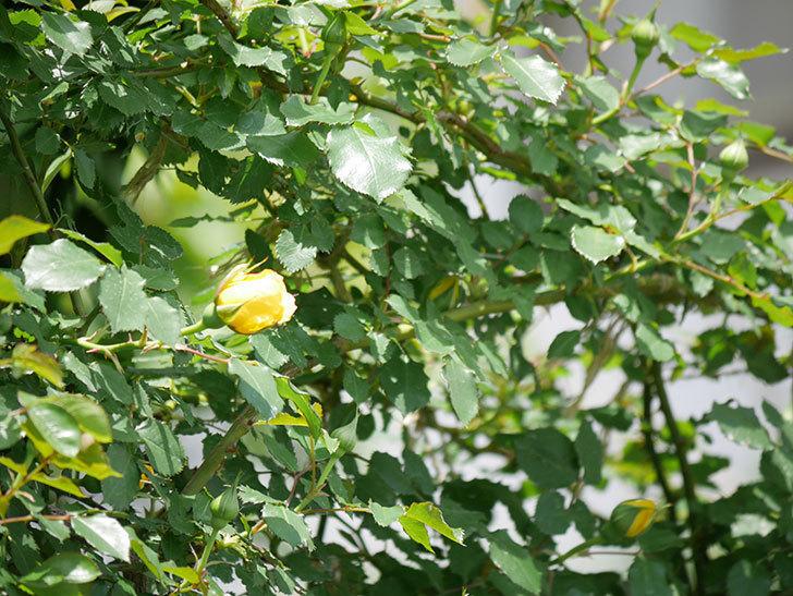 つるゴールドバニー(ツルバラ)の花が続々と膨らんで来た。2019年-11.jpg
