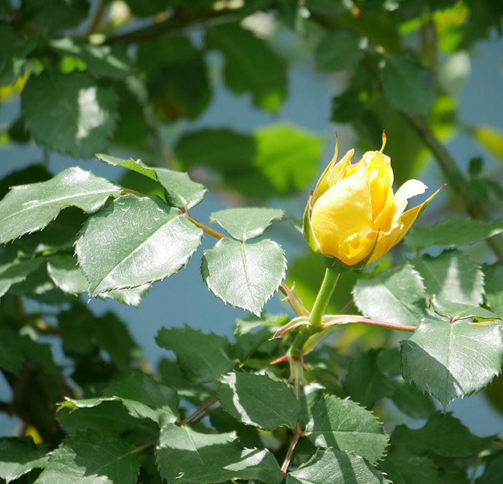 つるゴールドバニー(ツルバラ)の花が続々と膨らんで来た。2019年-14.jpg
