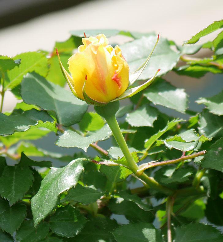 つるゴールドバニー(ツルバラ)の花が続々と膨らんで来た。2019年-15.jpg