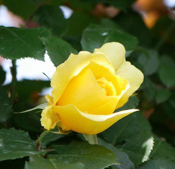 つるゴールドバニー(ツルバラ)の花が続々と膨らんで来た。2019年-16.jpg