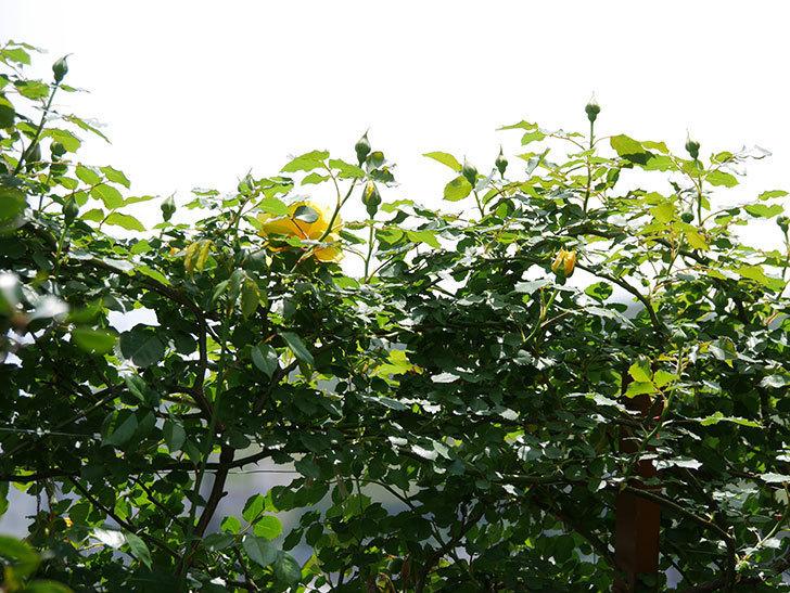 つるゴールドバニー(ツルバラ)の花が続々と膨らんで来た。2019年-17.jpg
