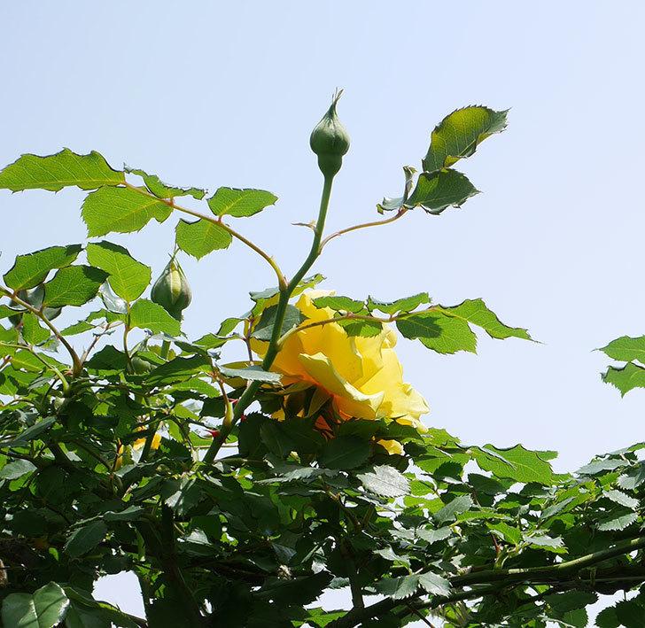 つるゴールドバニー(ツルバラ)の花が続々と膨らんで来た。2019年-18.jpg