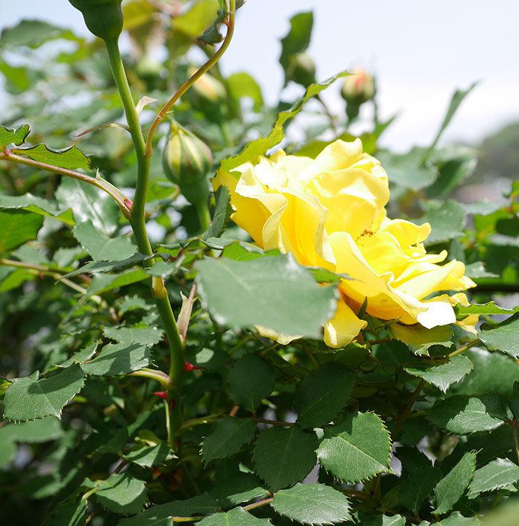 つるゴールドバニー(ツルバラ)の花が続々と膨らんで来た。2019年-19.jpg