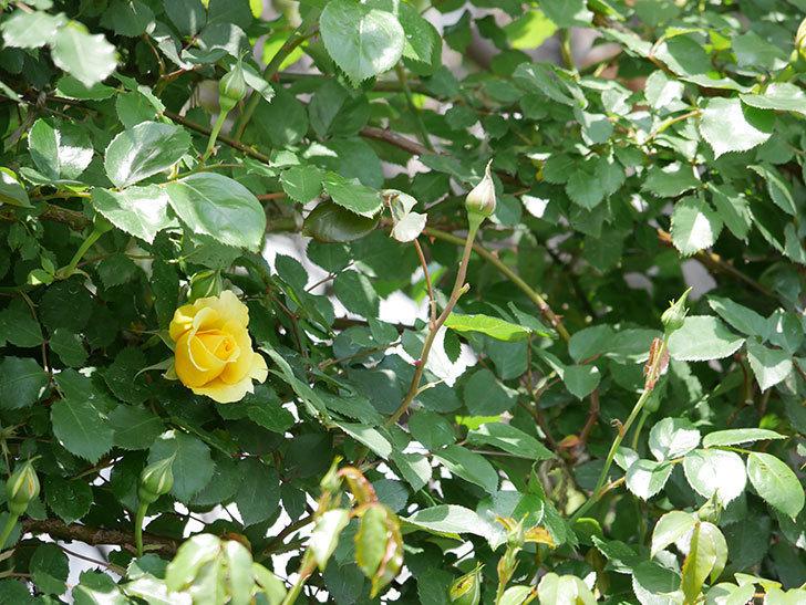 つるゴールドバニー(ツルバラ)の花が続々と膨らんで来た。2019年-2.jpg