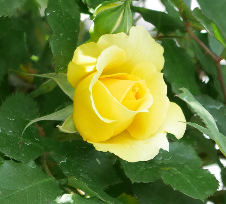 つるゴールドバニー(ツルバラ)の花が続々と膨らんで来た。2019年-3.jpg