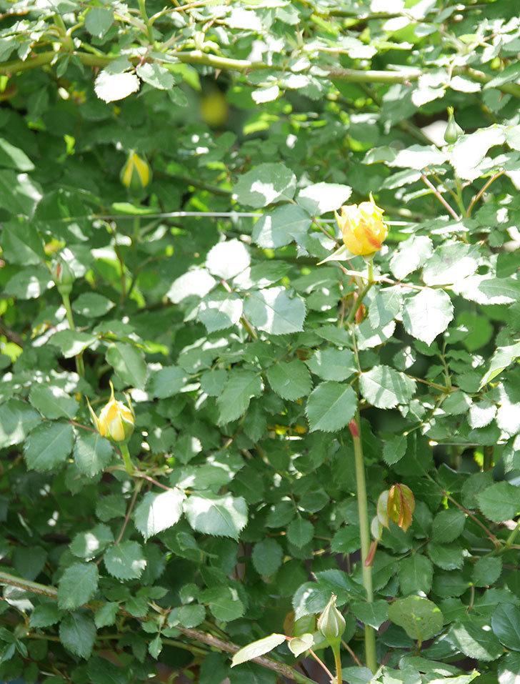 つるゴールドバニー(ツルバラ)の花が続々と膨らんで来た。2019年-4.jpg