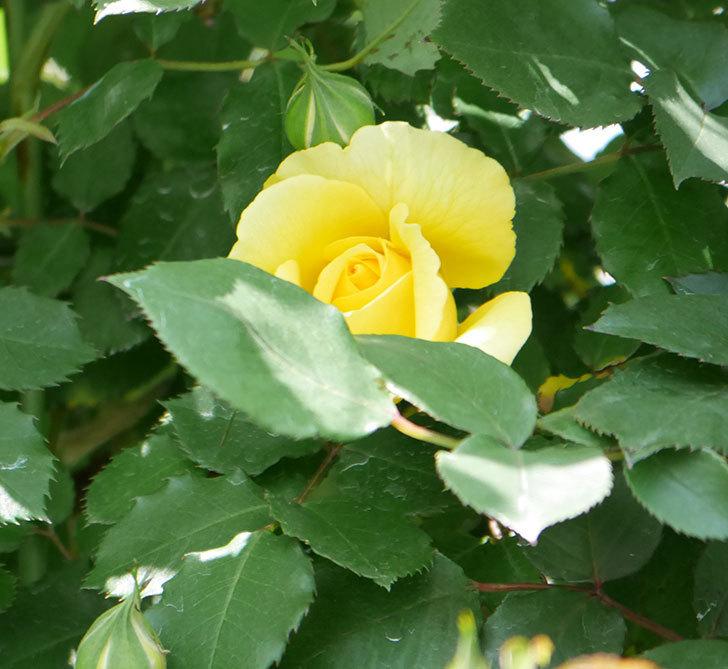 つるゴールドバニー(ツルバラ)の花が続々と膨らんで来た。2019年-5.jpg