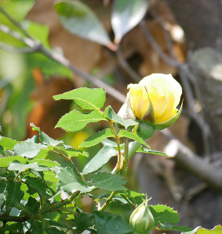 つるゴールドバニー(ツルバラ)の花が続々と膨らんで来た。2019年-6.jpg