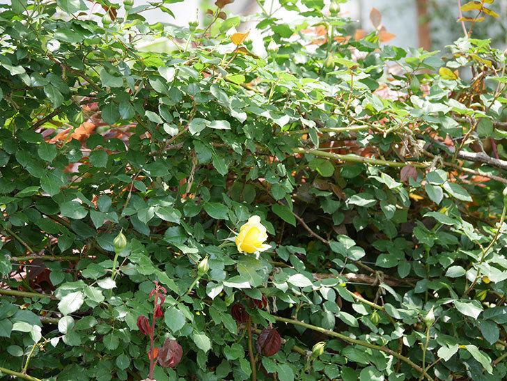 つるゴールドバニー(ツルバラ)の花が続々と膨らんで来た。2019年-7.jpg