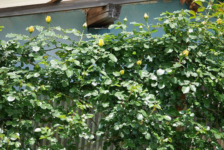 つるゴールドバニー(ツルバラ)の花が続々と膨らんで来た。2019年-8.jpg